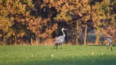 migrating : Common Cranes in a field in slow motion