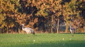 grus : Common Cranes in a field in slow motion