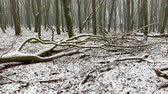 desolado : Winter view in a Beech trees forest with dramatic shapes in a misty and snowy forest during a cold winter day