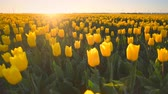 Yellow tulips in a field during a beautiful spring sunset in Holland.
