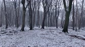 Winter view in a Beech trees forest with dramatic shapes in a misty and snowy forest during a cold winter day