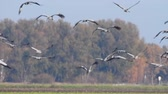 grus : Common Cranes or Eurasian Cranes (Grus Grus) flying in slow motion over a field during migration in autumn Stock Footage