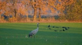 grus : Common Cranes or Eurasian Cranes (Grus Grus) birds resting and feeding in a field during migration