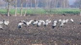 migrating : Common Cranes or Eurasian Cranes (Grus Grus) resting and feeding in a field during migration in autumn Stock Footage