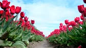 Red tulips growing in a field during springtime in Holland. Low angle view with the tulips shaking in the wind.