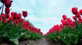 Red tulips growing in a field during springtime in Holland. Low angle view with the camera sliding along the tulips Wideo