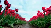 オランダ : Red tulips growing in a field during springtime in Holland. Low angle view with the camera sliding along the tulips 動画素材