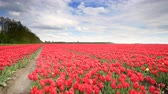 non urban scene : Red tulips growing in a field during springtime in Holland with clouds moving over the field and forest in the background. Stock Footage