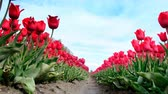 non urban scene : Red tulips growing in a field during springtime in Holland. Low angle view with the camera sliding along the tulips Stock Footage