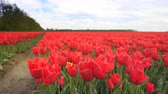 オランダ : Red tulips growing in a field during springtime in Holland with clouds moving over the field and forest in the background. 動画素材