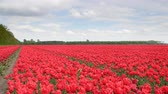 Red tulips growing in a field during springtime in Holland with clouds moving over the field and forest in the background. Wideo