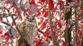 bico : Long-eared owl (Asio otus) sitting high up in a tree with red colored leafs during a fall day.