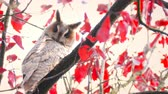 baykuş : Long-eared owl (Asio otus) sitting high up in a tree with red colored leafs during a fall day.