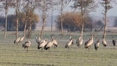 Common Cranes or Eurasian Cranes (Grus Grus) adult and juvenile walking in a field in soft autumn light. Slow motion clip.