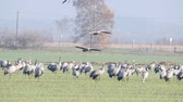 Common Cranes or Eurasian Cranes (Grus Grus) flying and landing in a field during migration season. Slow motion clip.