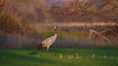 Common Crane or Eurasian Crane (Grus Grus) adult walking in a field in soft autumn light. Slow motion clip.