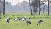 etet : Common Cranes or Eurasian Cranes (Grus Grus) adult and juvenile walking in a field in soft autumn light. Slow motion clip.