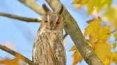 oog : Long-eared owl (Asio otus) sitting high up in a tree with yellow colored leafs during a fall day. Slow motion clip.