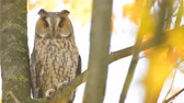 baykuş : Long-eared owl (Asio otus) sitting high up in a tree with yellow colored leafs during a fall day. Slow motion clip.