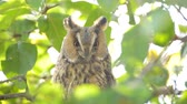 oog : Long-eared owl (Asio otus) sitting high up in an apple tree with green colored leafs during a fall day.