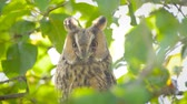 baykuş : Long-eared owl (Asio otus) sitting high up in an apple tree with green colored leafs during a fall day.