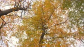 de faia : Upwards view in a Beech tree forest with autumn leaves during an overcast fall day.