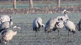 кормление : Common Cranes or Eurasian Cranes (Grus Grus) birds resting and feeding in a field during migration. Other cranes are landing in slow motion. Стоковые видеозаписи