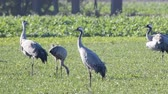juvenil : Common Cranes or Eurasian Cranes (Grus Grus) birds resting and feeding in a field during migration. Other cranes are landing in slow motion. Vídeos