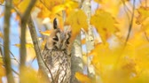 baykuş : Long-eared owl (Asio otus) sitting high up in a tree with yellow colored leafs during a fall day. Stok Video