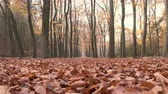 de faia : Path through a beech tree forest with brown leaves on the forest floor and vanishing point in the distance. Slow motion clip with sliding camera.