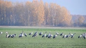 クレーン : Common Cranes or Eurasian Cranes (Grus Grus) birds resting and feeding in a field during migration