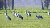 cambiamenti : Common Cranes or Eurasian Cranes (Grus Grus) birds resting and feeding in a field during migration