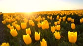 Yellow tulips growing in a field during springtime in Holland at the end of a beautiful spring day.
