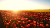 Red tulips growing in a field during springtime in Holland at the end of a beautiful spring day. 動画素材