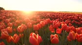тюльпаны : Red tulips growing in a field during springtime in Holland at the end of a beautiful spring day. Стоковые видеозаписи