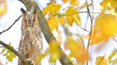 Long-eared owl (Asio otus) sitting high up in a tree with yellow colored leafs during a fall day. 動画素材