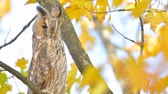 kafa : Long-eared owl (Asio otus) sitting high up in a tree with yellow colored leafs during a fall day. Stok Video