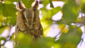 Long-eared owl (Asio otus) sitting high up in an apple tree with green colored leafs during a fall day.