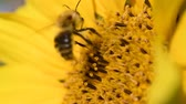 Bee foraging on a sunflower rocking in the wind. Close up macro footage in slow motion. 무비클립