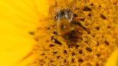 Bee foraging�on a sunflower rocking in the wind. Close up macro footage in slow motion.
