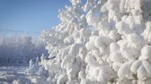 silence : Close up of snow covered pine tree with snow falling Stock Footage