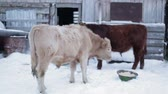 cow birth : Two men cow on the ground, and turned back to face the camera.  Farm ranch  cows eating hay during winter.