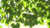 radial : Sun shining through green leaves