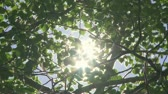 radial : Sun through green leaves