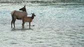 ana : Elk with Calf Stok Video