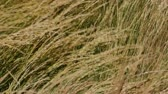 gras : Wind in gras