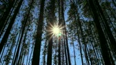 radial : Pine Forest and Sun