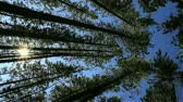 radial : Pine Forest and Sun vertical composition Stock Footage