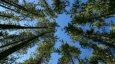 tlen : Pine Forest rotation