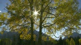 radial : Autumn aspen trees and sun Stock Footage